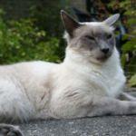 Балийская порода кошек