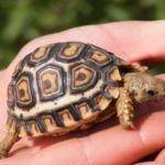 Черепаха на руке