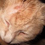Микроспорум у кошки